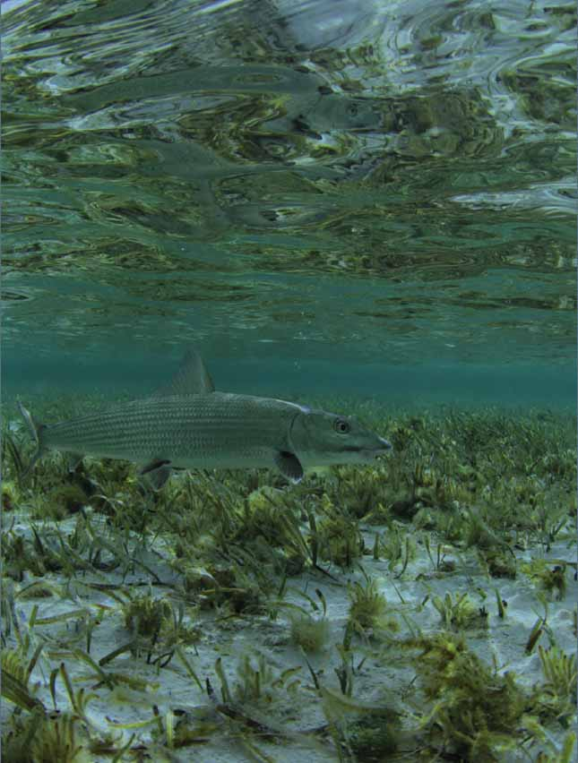 Destinations diy bonefishing in the bahamas fly life magazine bonefish greens photo by adrian gray to visit adrians website click here solutioingenieria Images