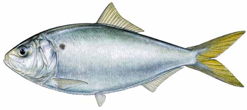 Conservation Forage Fish Sustain Our Game Fish And Prey
