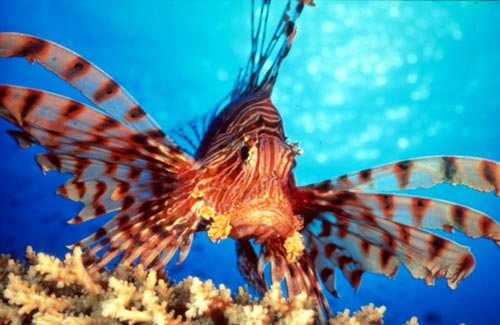 Conservation: Love thy spearfisher – lionfish invasion, but they're delicious to eat