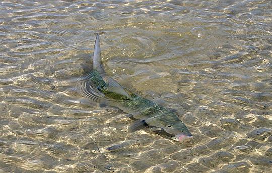 Conservation: Bonefishing fishing capital of the world?