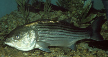 """Conservation: """"Striped bass reproduction hits record low in Maryland"""" . . . and Virginia – no rain and too warm!"""