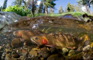 Yellowstone cutthroat trout (pictured) are declining thanks to pressure from larger invasive lake trout. Photograph by Jay Fleming.