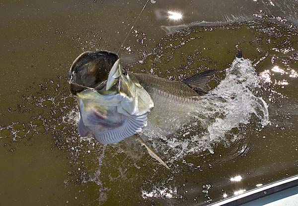 News chase for the chalice tarpon tournament returns for Do fish drink water