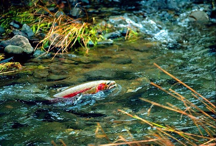 Conservation: Wild Steelhead Coalition- Tell Stanford University to remove Searsville Dam
