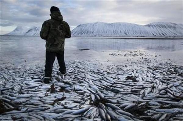 APTOPIX Iceland Fish Deaths