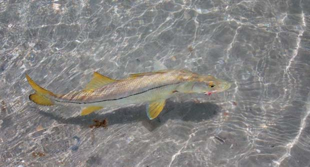 Gatcha, a nice snook in the surf.