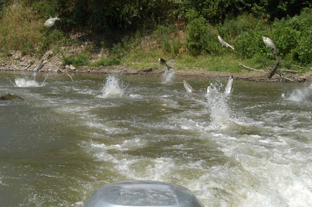 Carp react flight or fight at almost any noise and can go airborne over 10-feet in the air. Photo Missouri.edu