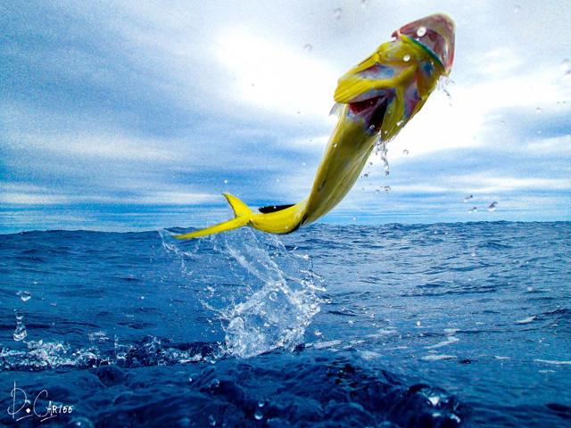 Tips & Tactics: Mahi on the fly