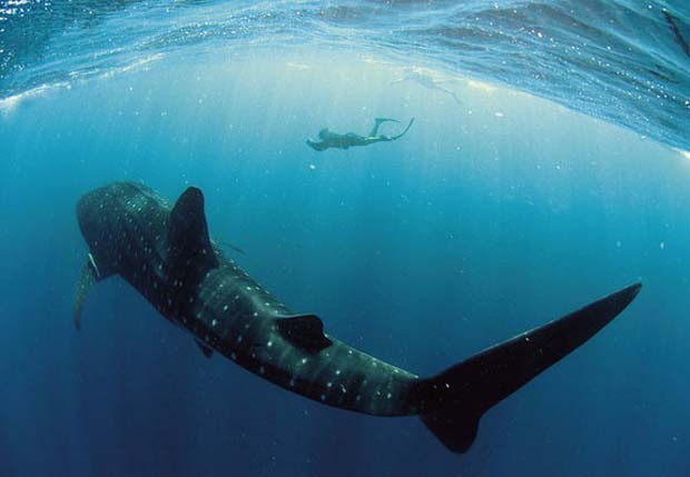 Whale sharks are the largest shark and largest fish species swimming around in the seas. They can weigh as much as an elephant. Photo Brad Norman