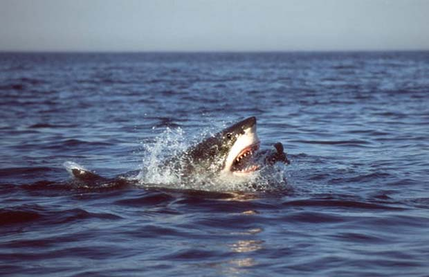Conservation: Why sharks generate more money alive than dead