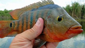 "Mayan cichlid are also known as ""atomic sunfish."""