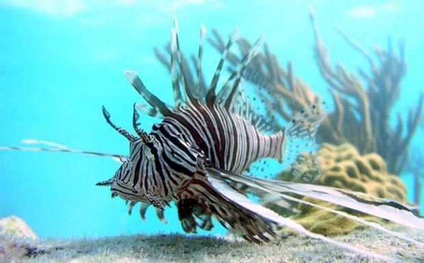 Lionfish (Credit: Image courtesy of Oregon State University)