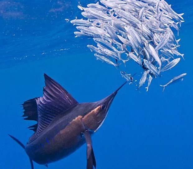 Big sailfish, big eyes. Photo National News and Pictures.