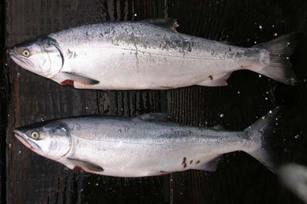 Top is coho salmon and bottom is pink salmon.