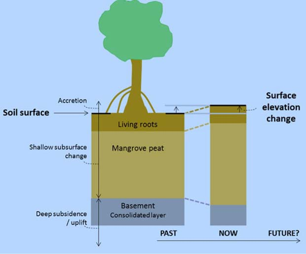 Diagram of a mangrove tree and the soil beneath it, illustrating how surface elevation change (soil build-up) may occur over time.