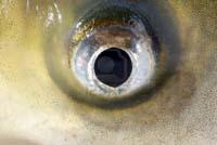 6984278-close-up-of-a-fish-eye