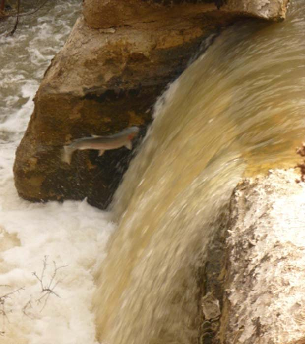 NOAA. Photo of steelhead attempting to jump the Dutch Flat Dam by Bob Ries (used with permission).