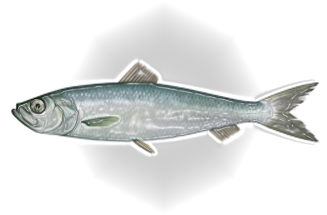 Feature: Status on river herring and shad from Herring Alliance