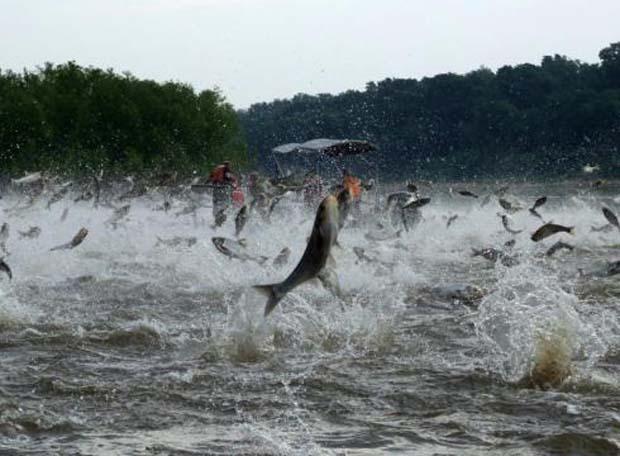 Plan-to-block-Asian-carp-carries-3B-tag-40U2OKR-x-large