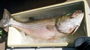 The report showed a dramatic decline in adult fish in recent years and projects that the breeding population is on course to cross the overfished threshold in the near future.