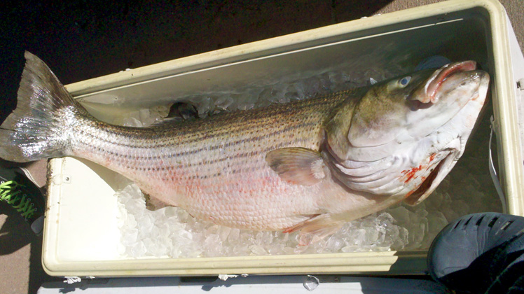 Conservation: Commission Votes for More Striped Bass Conservation