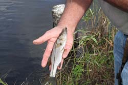 A nursery sized snook, several that day.