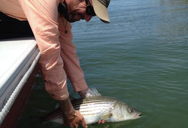 News: Striped bass stock status via Stripers Forever