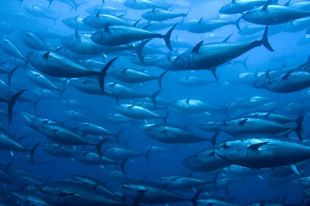 News: ICCAT / Rebuilding Atlantic bluefin tuna populations