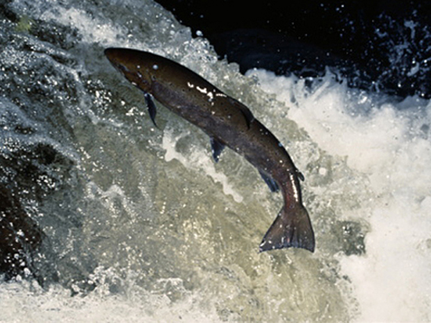 News: Canadian industry fails to report escaped salmon