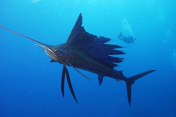 Fish Facts: IGFA video on sailfish is enlightening