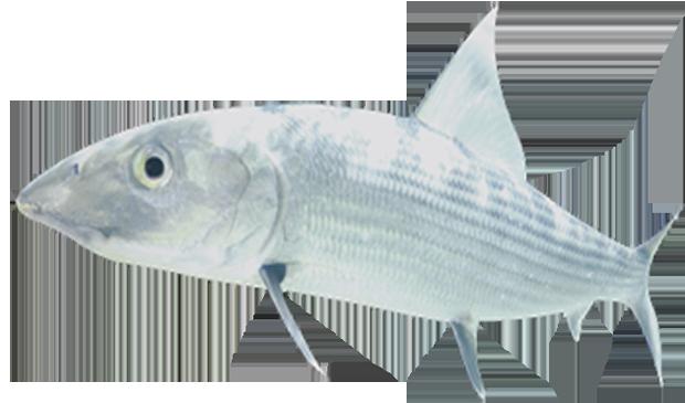 bonefish copy