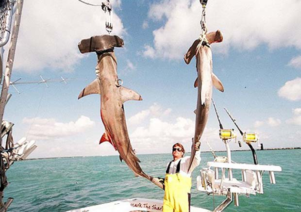 Two uselessly killed hammerhead sharks and the proud Mark Quartiano. It's just not the Japanese and Chinese that kill sharks just for their fins (shark fin soup). There's actually an idiot in Miami, a charter captain who claims to have mindlessly slaughtered 40,000 sharks - and done so just for the boast of it. You can call him (Mark Quartiano) at 305-759-5297 / toll free at 877-365-5550, or email him at Cecile@marktheshark.com and let him know what YOU think of killing for the boast.