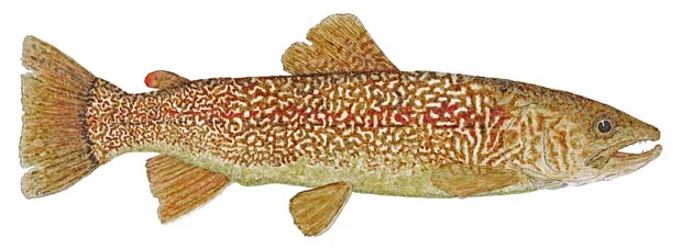 Marble trout.