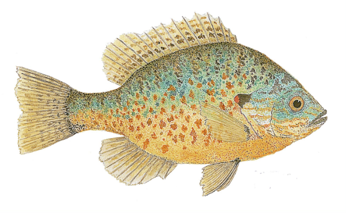 Friday Fish Frame: Meet Thom Glace, watercolor artist extraordinaire