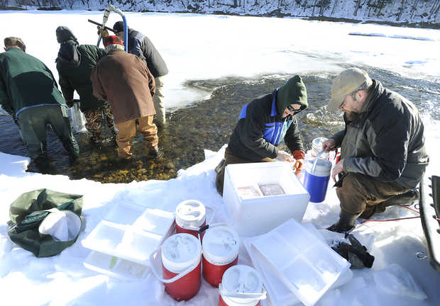 Image by Terry Karkos.    www.sunjournal.com -  Image by Terry Karkos - Maine marine biologist Jason Bartlett, front left, and Mark Pasterczyk prepare Atlantic salmon eggs for planting in the Sandy River in Strong, Maine.