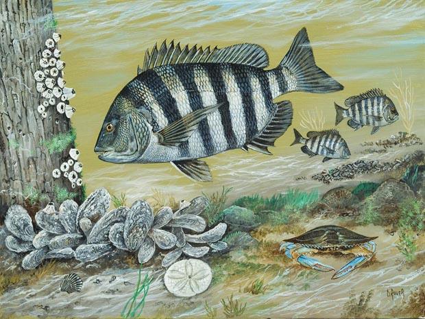 Friday Fish Frame: Meet artist Duane Raver - Fly Life MagazineSaltwater Sheepshead Fish Pictures