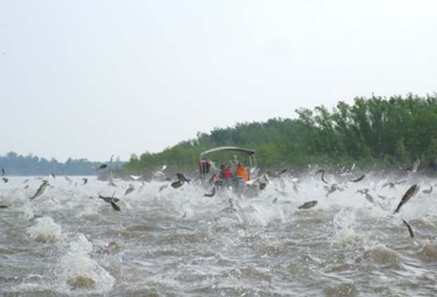 Carp invasion. Photo credit  - indiancountrytodaymedianetwork.net.