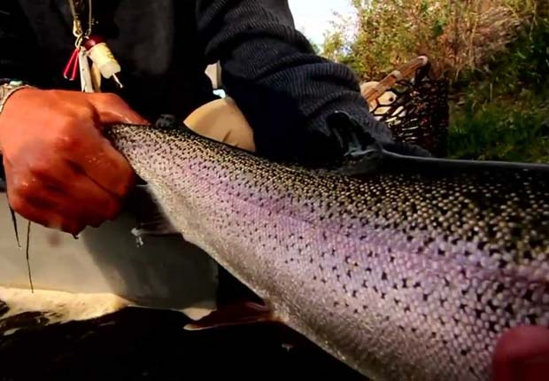 Video: Trout on the rise in New Zealand