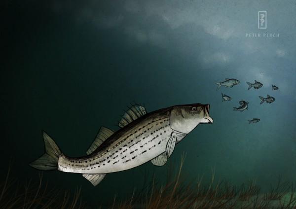 Striped Bass / Morone saxatilis