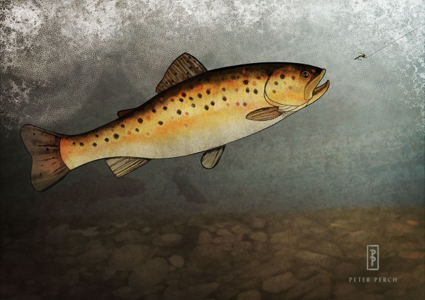 Brown Trout / Salmo trutta fario