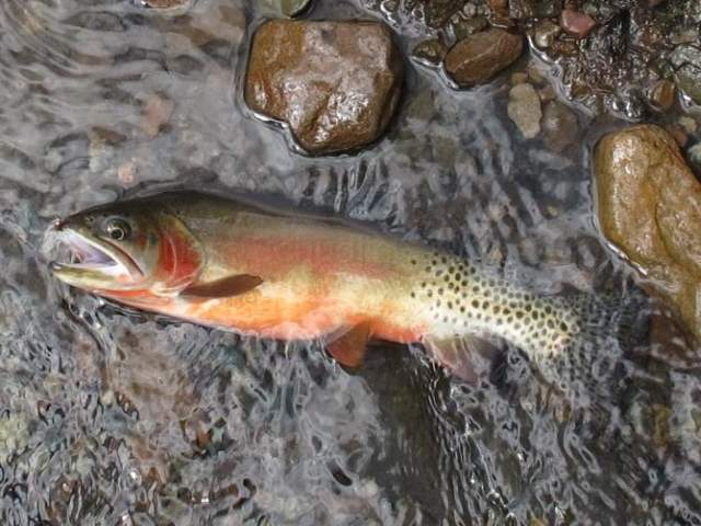 Conservation: Federal agencies and tribes in agreement about trout