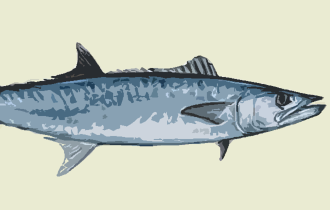 Wednesday Fish Facts: The mighty kingfish will test your strength