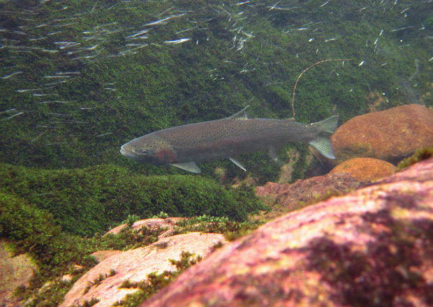 Conservation tributaries designated wild steelhead gene for Lewis river fishing report