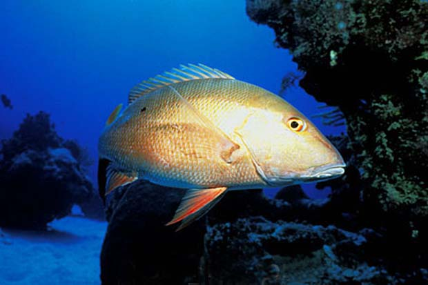 Photo credit Florida Museum of Natural History - Ichthyology Department: Mutton Snapper / www.flmnh.ufl.edu