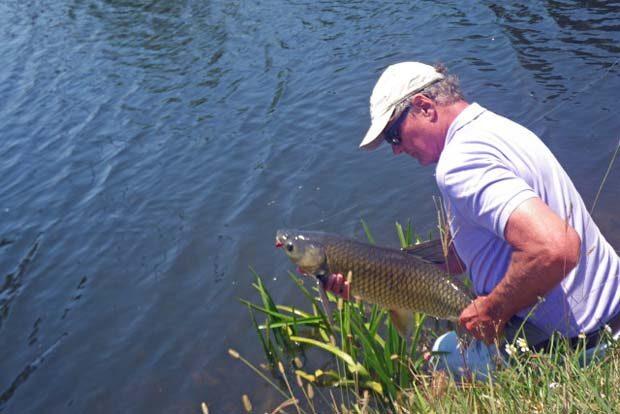 Fish Facts: Ctenopharyngodon idella, the grass carp