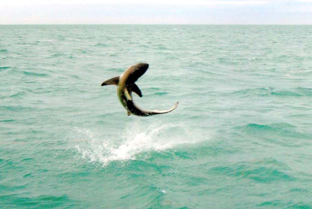 Wednesday Fish Facts: Spinner shark, Carcharhinus – brevipinna
