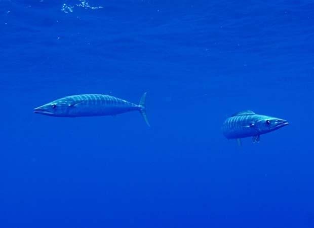 Wednesday Fish Facts: Acanthocybium solanderi – wahoo, speed merchant