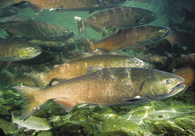 News wa state expecting quality salmon season with some for Washington fishing season