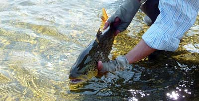 Silver Creek brown trout. Image by www.nature.org.