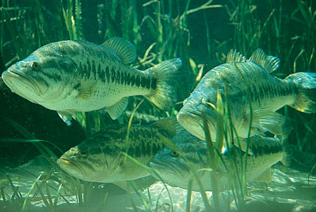 Largemouth bass - Florida Fish and Wildlife Conservation Commission photo.